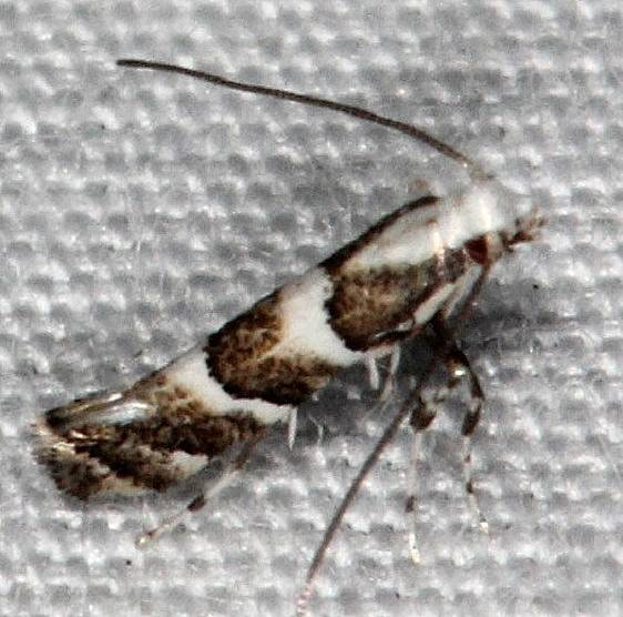 0718.97 Unidentified Marmara Moth Collier-Seminole St Pk 3-6-15
