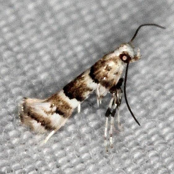 0718.97 Unidentified Marmara Moth Lucky Hammock near Everglades 2-27-15