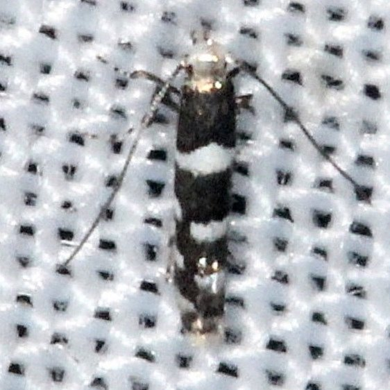0718.97 Unidentified Marmara Moth Pine Glade Lake Everglades 2-21-14