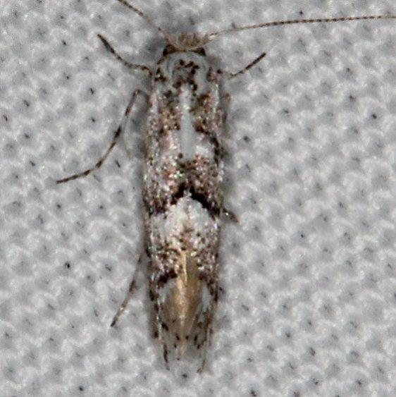 0718.99 Unidentified Gracillariid Moth tentative Devil's Canyon Manti-La Sal Natl Forest Utah 6-8-17 (62)_opt