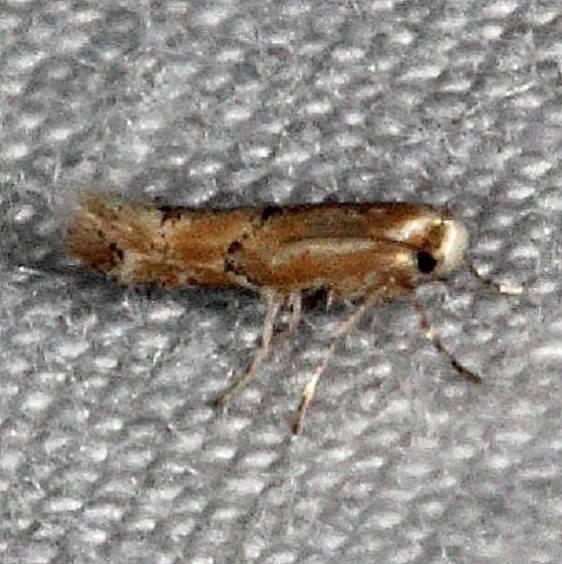 0743 Phyllonorycter celtisella Silver Lake Cypress Glenn Fl 3-16-15_opt