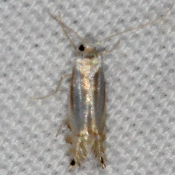 0765 Lesser Maple Blotch Miner Moth yard 5-8-15