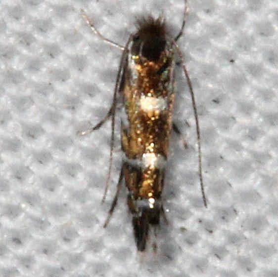 0773 Macrosaccus morrisella yard 9-9-15
