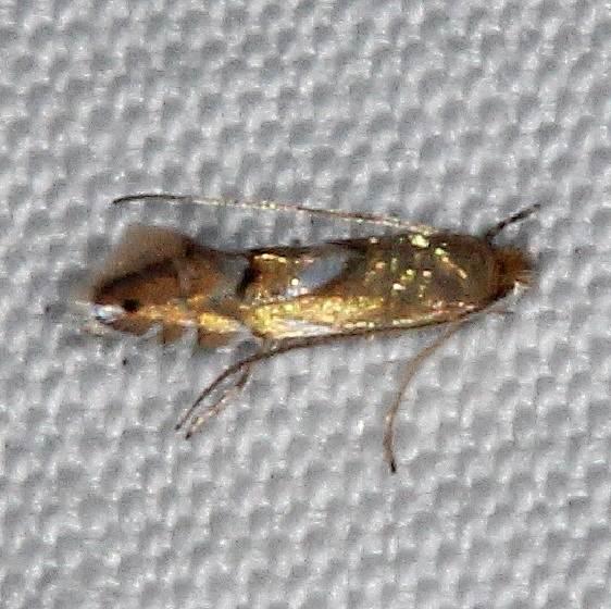 0781 Pyllonorycter ostryaefoliella yard 6-25-16 (6a)_opt