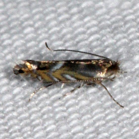 0790 Macrosaccus robiniella yard 8-18-15