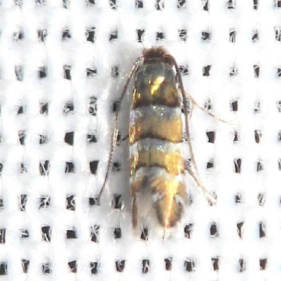 0800 Phyllonorycter Tritaenianella yard 9-2-12