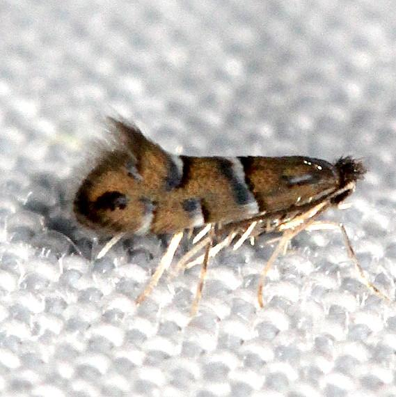 0802 Phyllonorycter viburnella Shawnee St Pk Oh 6-14-13