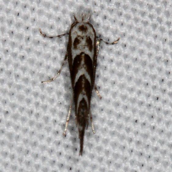 0802.97 Unidentified Phyllonorycter Moth Devil's Canyon Manti-La Sal Natl Forest Utaj 6-8-17 (101)_opt