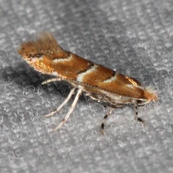 0815 Gregarious Oak Leafminer Moth Yard 7-2-16 (8a)_opt