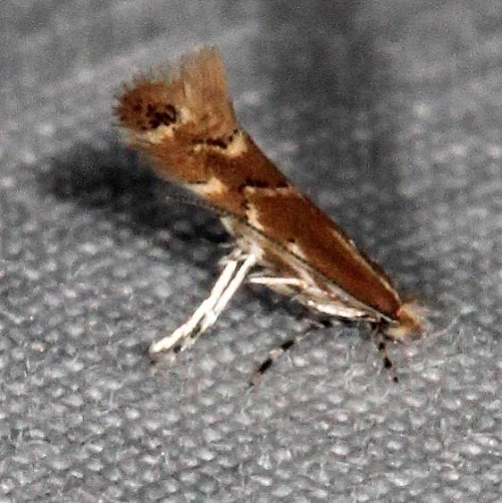 0841.97 Unidentified Cameraria Moth yard 10-8-15