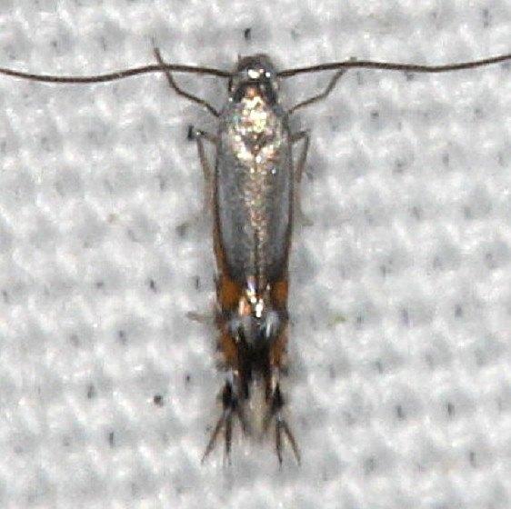 0846 Phyllocnistis insignis yard 9-8-14