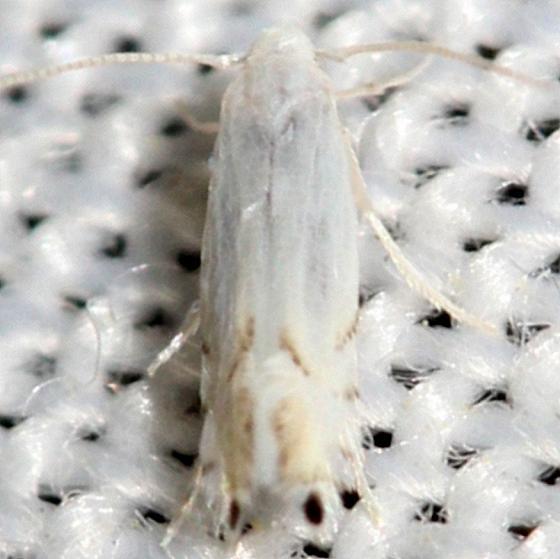0854.98 Unidentified Phyllocnistinae Moth yard 6-10-12