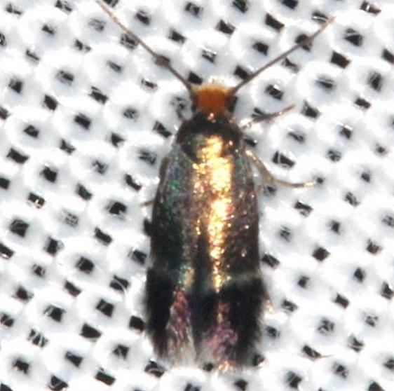 0058.97 Unidentified Ectodoemia Moth yard 7-31-13