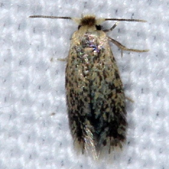 0058.97 Unidentified Ectodoemia Moth yard 8-30-14