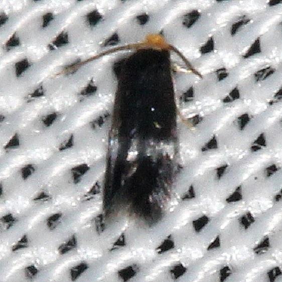 0058.97 Unidentified Ectoedoemia Moth yard 9-5-16_opt