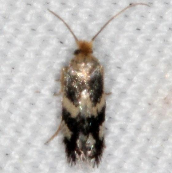 0058.97 Unidentified Ectoedomia Moth Campsite 119 Falcon St Pk Texas 10-25-16_opt