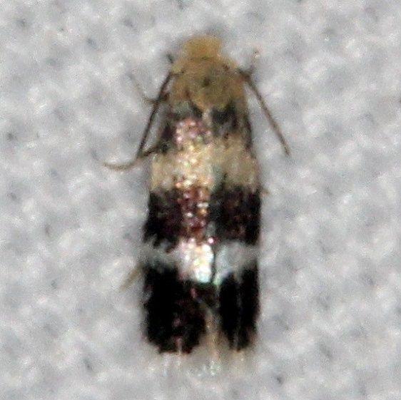 0074 Stigmella rhamnicola yard 9-9-15