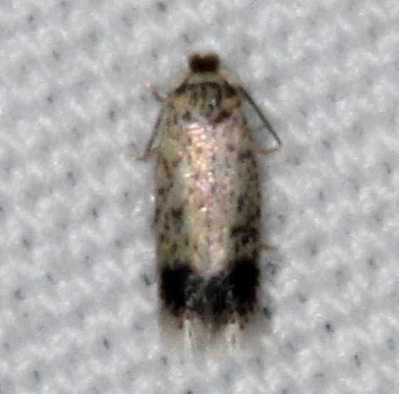 0088.97 Unidentified Nepticula Moth yard 5-28-15