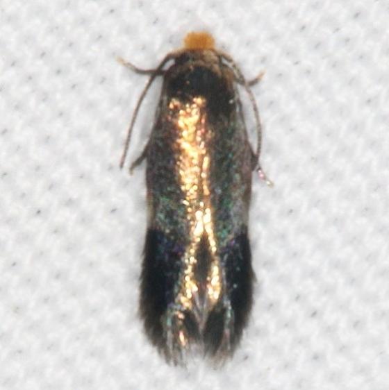 0111.97 Unidentified Stigmella Moth General Butler St Pk Ky 4-19-17 (2)_opt