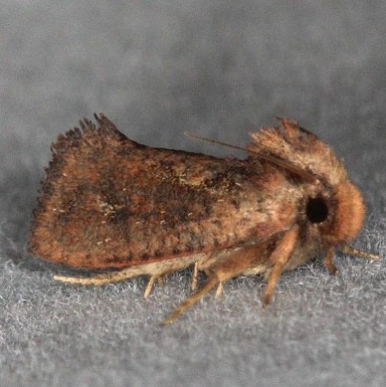 0373 Clemens' Grass Tubeworm Moth Oscar Scherer St Pk 3-13-15