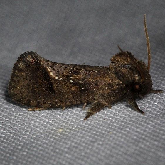 0383 Texas Grass Tubeworm Moth Kissimmee Prairie St Pk 2-17-14