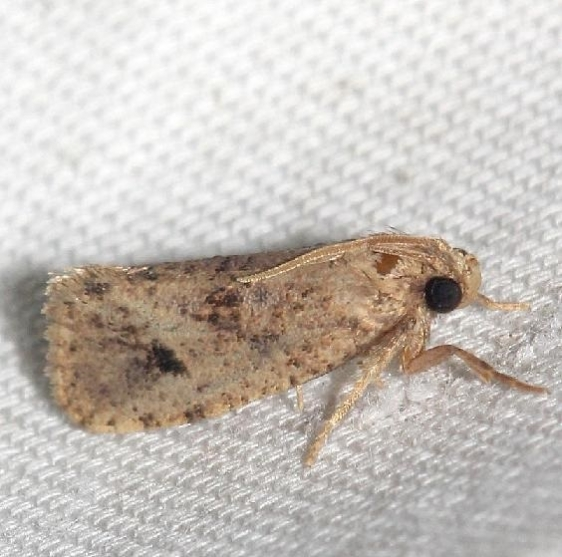 0383 Texas grass Tubeworm Moth worn Lake Kissimmee St Pk Fl 2-26-13