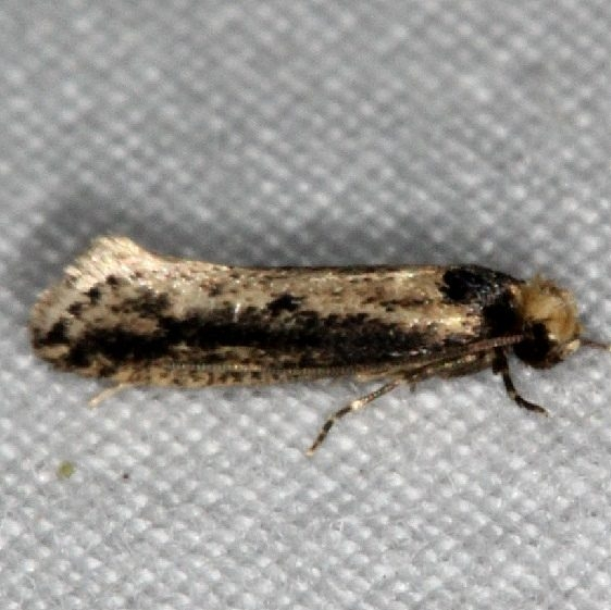 0392 Tinea apicimaculla Little Manetee River St Pk 3-10-15