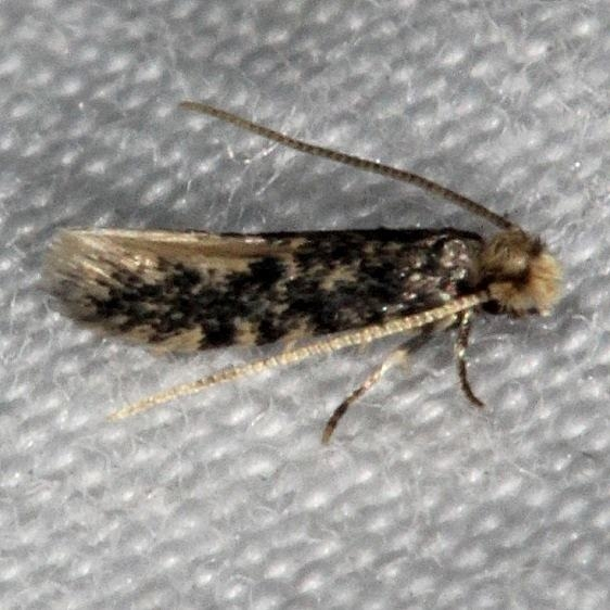 0421.97 Unidentified Monopis Moth tenative Long PIne Picnic area Everglades 3-2-15