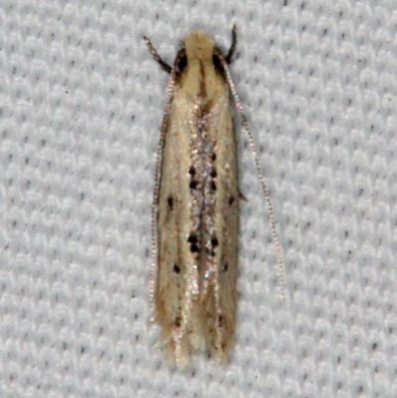 0434.99 BG Unidentified Tineid Moth Johathan Dickinson St Pk Fl 3-9-17 (1)_opt