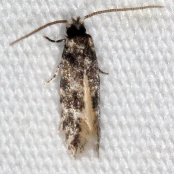 0434.99 BG Unidentified Tineid Moths Favre Dykes State Park Fl 2-20-17 (1)_opt