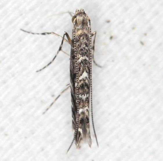 0663 Finite-channeled Leafminer Moth Neurobathra strigifinitella yard 6-5-13