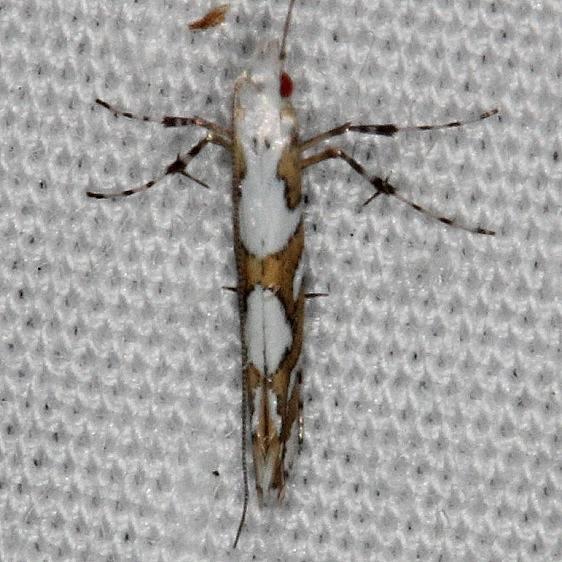 0689 Acrocercops albinatella yard 7-12-14