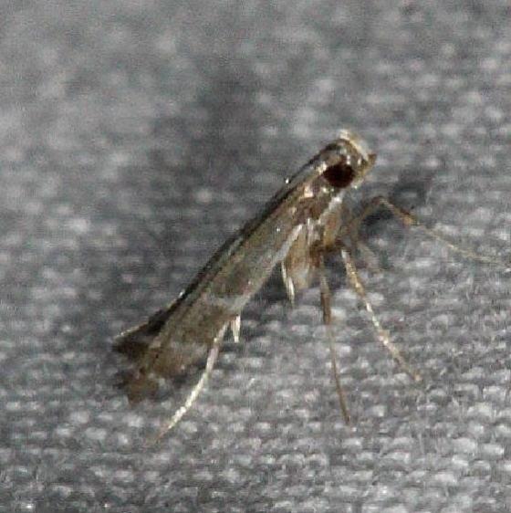 0697.97 Unidentified Acrocercops Moth yard 7-2-14