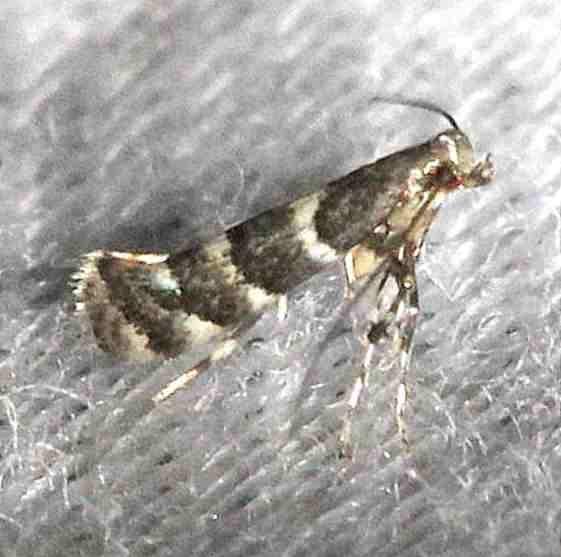 0718.97 Unidentified Marmara Moth Alexander Springs Ocala Natl Forest 3-19-13 (149)