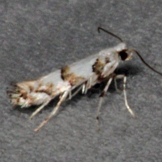 0718.97 Unidentified Marmara Moth Turkey Lake Shawnee St Pk 6-12-15