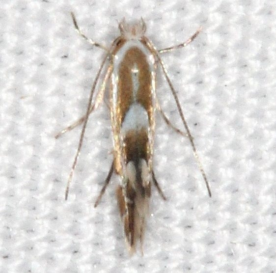 0786 Phyllonorycter restrictella yard 8-30-15