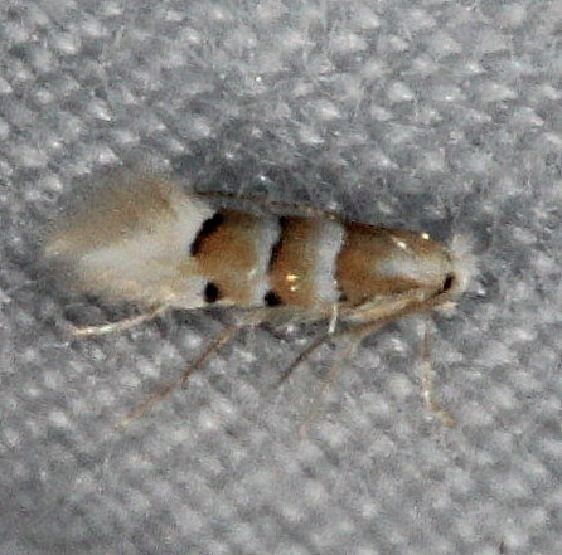 0797 Phyllonorycter tiliacella Burr Oak St Pk at lodge Oh 6-28-14