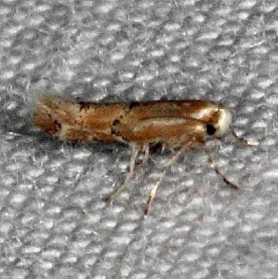 0841.97 Unidentified Cameraria Moth Silver Lake Cypress Glenn Fl 3-16-15