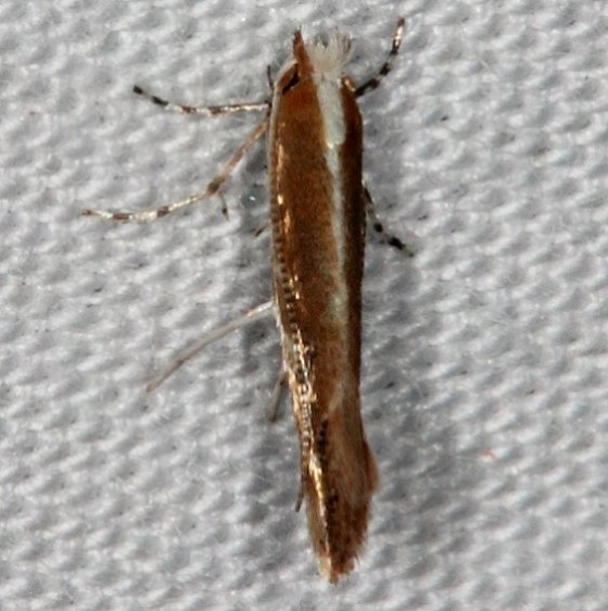 0841.97 Unidentified Cameraria Moth BG Silver Lake Cypress Glenn Fl 3-16-15