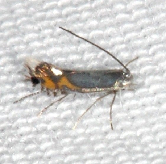 0846 Phyllocnistis insignis Burr Oak St Pk at cabins Oh 6-27-14