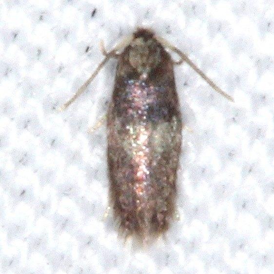 0058.97 Unidentified Ecdoedomia Moth yard 9-5-15
