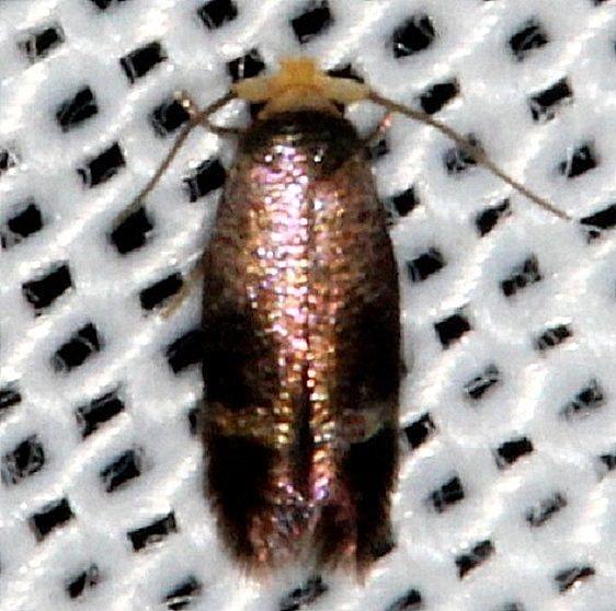 0058.97 Unidentified Ectodoemia Moth Hidden lake Everglades 2-18-14