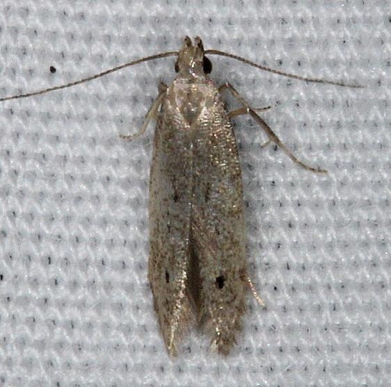Unknown Moth BG yard 7-12-14 (17)_opt