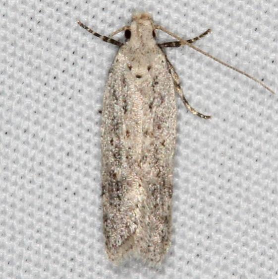 Unknown Moth Campsite 119 Falcon St Pk Bg 10-22-16 (4)_opt