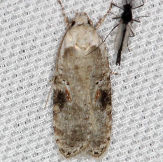 0874.1 Poison Hemlock Moth yard 4-10-13