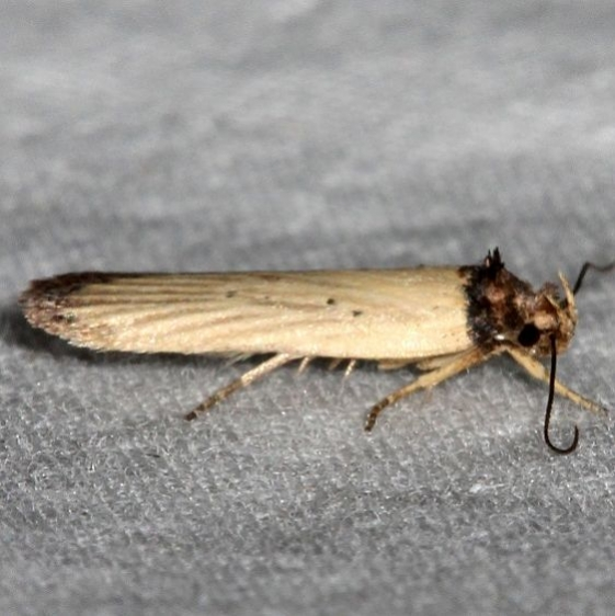 0902 Depressariodes gracilis Mesa Verde Natl Pk Colorado 6-10-17 (67)_opt