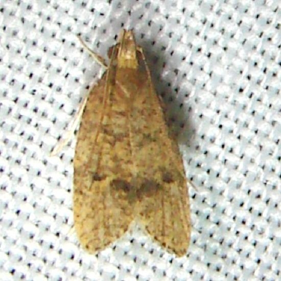 0957 Dotted Leaftier Moth CREW Marsh FL 3-6-12