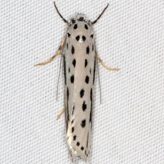 0992 Zellar's Ethmia Moth General Butler St Pk Ky 4-19-17 (1)_opt