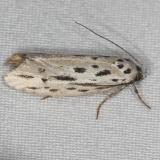 0999 Streaked Ethmia Moth Burr Oak St Pk at cabins Oh 6-27-14