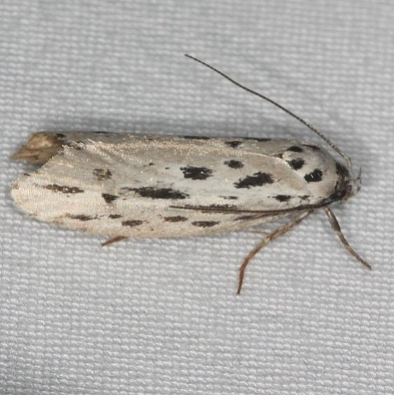 0999 Streaked Ethmia Moth Burr Oak St Pk at cabins Oh 6-27-14